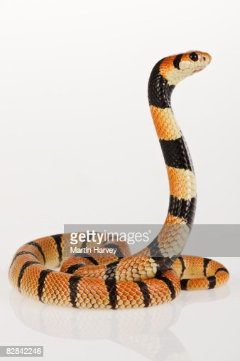African coral snake against white background.