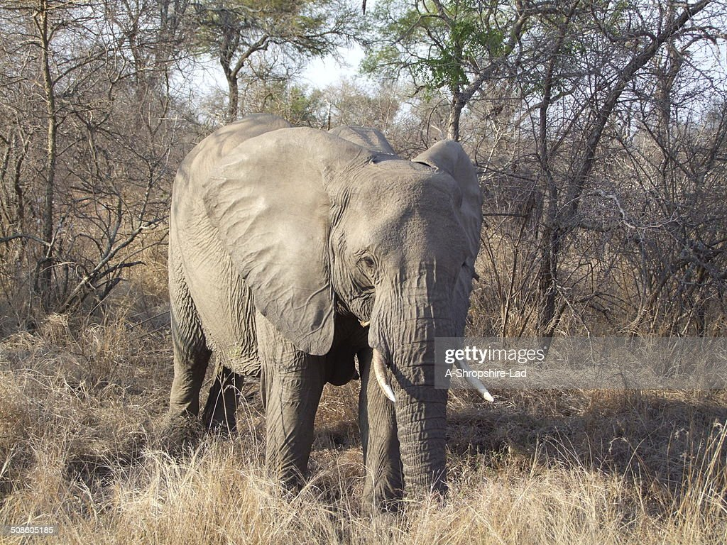African Elephant 011 : Stock Photo