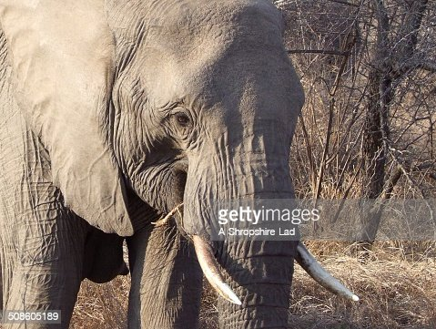 African Elephant 012 : Stock Photo