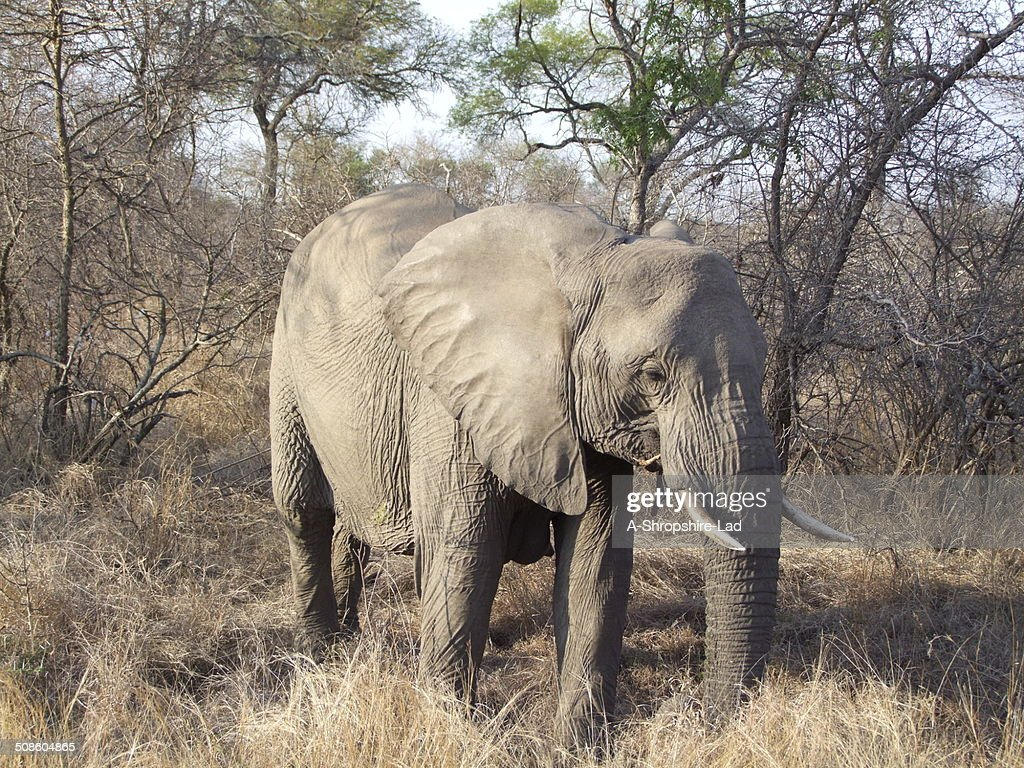 Elefante africano : Foto de stock