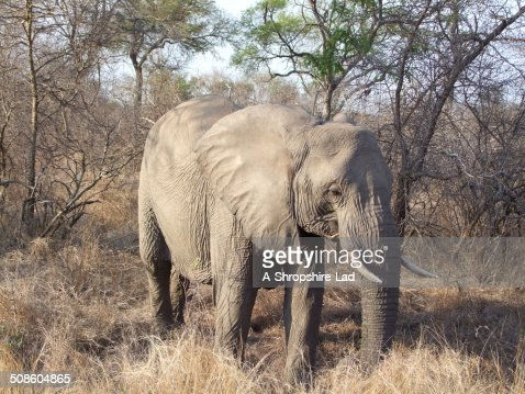 African Elephant 015 : Stock Photo