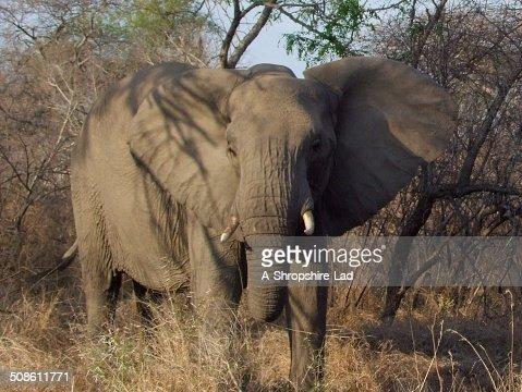 African Elephant 020 : Stock Photo