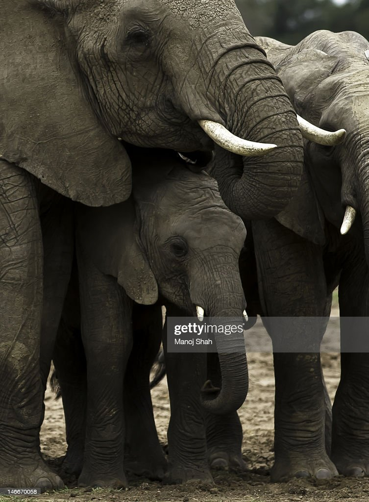 African Elephant adults 'protecting' baby. : Stock Photo