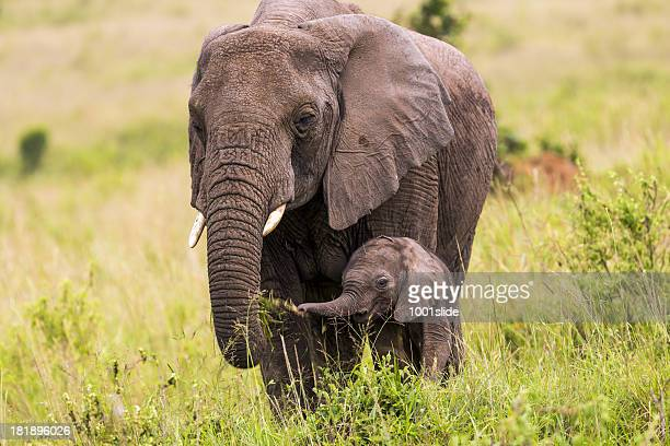 African Elephant and baby: Eating