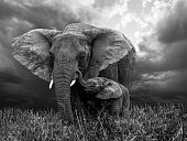 African Elephant and baby: grazing from happy mother mouth