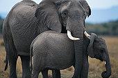 African elephant (Loxodonta africana) and calf, Masai Mara N.R, Kenya