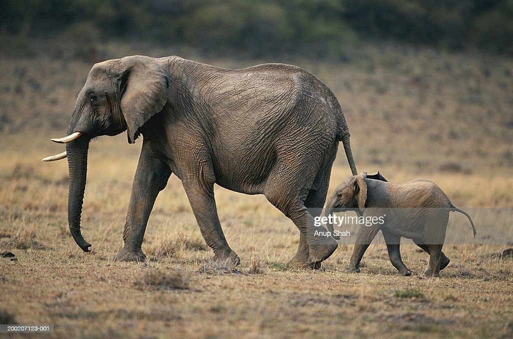 African elephant (Loxodonta africana) and calf walking, Masai Mara N.R, Kenya : Stock Photo