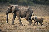 African elephant (Loxodonta africana) and calf walking, Masai Mara N.R, Kenya