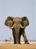 African elephant and gemsboks, Namibia (Digital Composite)