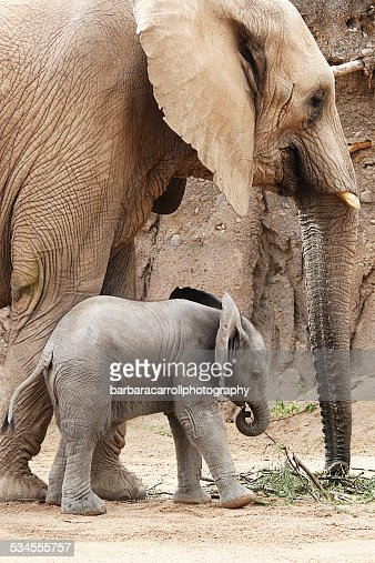 African elephant and her baby