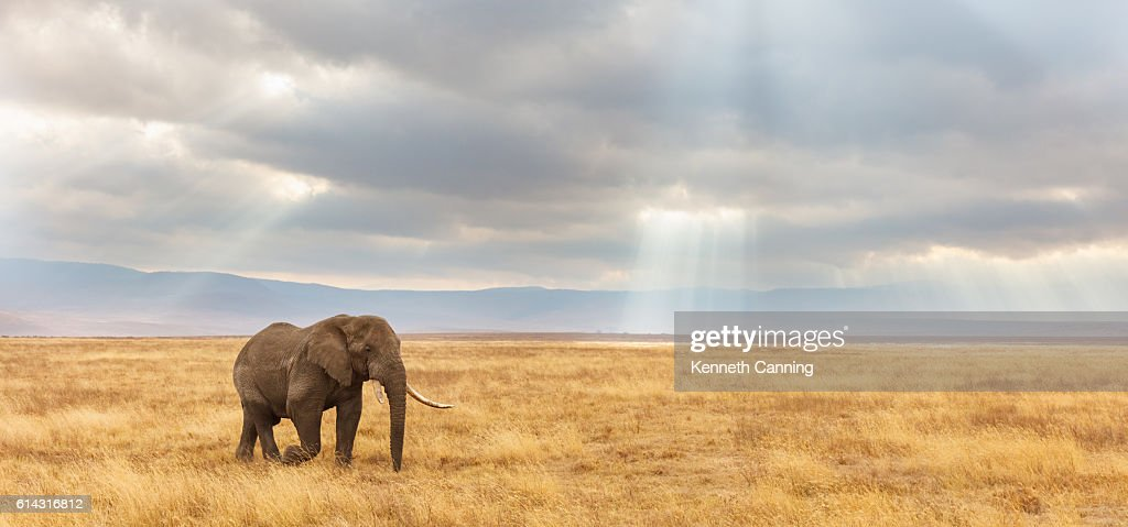 African Elephant and the Ngorongoro Savanna in Tanzania : Stock Photo