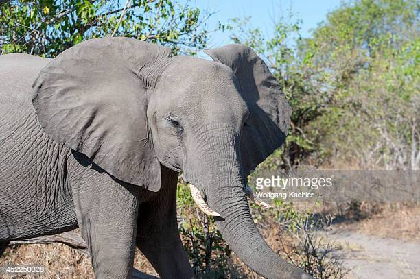 African elephant at the Linyanti Reserve near the Savuti Channel in northern part of Botswana