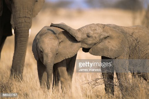 African elephant babies playing : Stock Photo