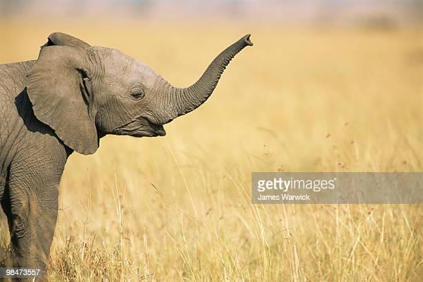 African elephant baby extending trunk