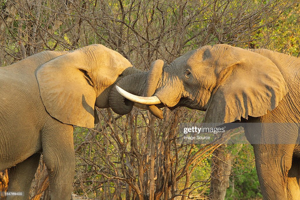 African Elephant bulls greeting each other by putting trunks in mouths, Mana Pools, Zimbabwe : Stock Photo