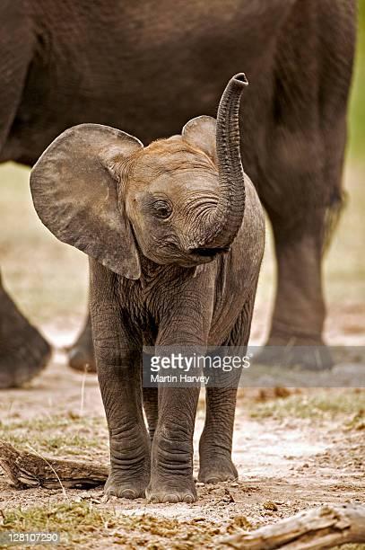 African Elephant calf, Loxodonta africana, using trunk to smell. Amboseli National Park Kenya. Dist. Sub-saharan Africa