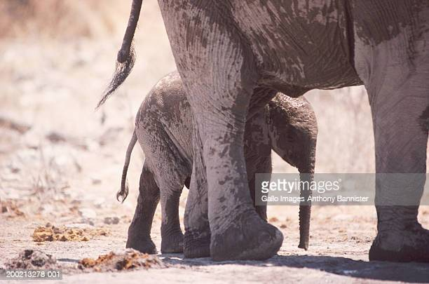 African elephant calf (Loxodonta africana) next to mother, close-up