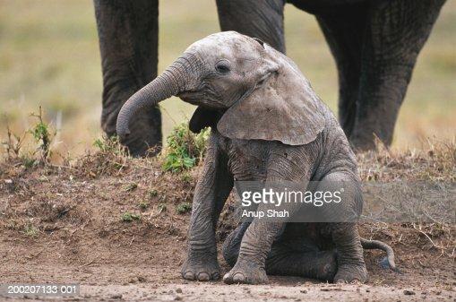 African elephant calf (Loxodonta africana) sitting and watching, Masai Mara N.R, Kenya
