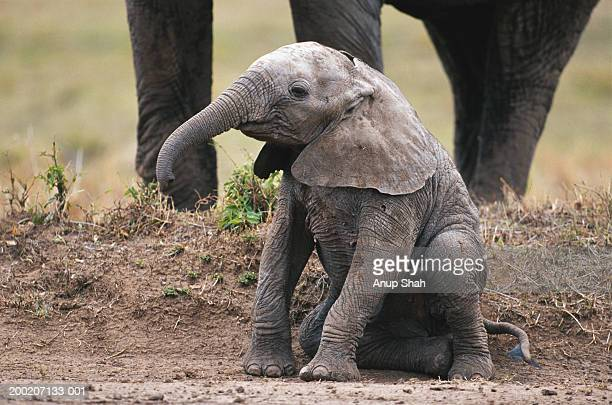 African elephant calf (Loxodonta africana) sitting and watching, Masai Mara N.R, Kenya