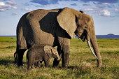 African elephant (Loxodonta africana) calf walking alongside adult