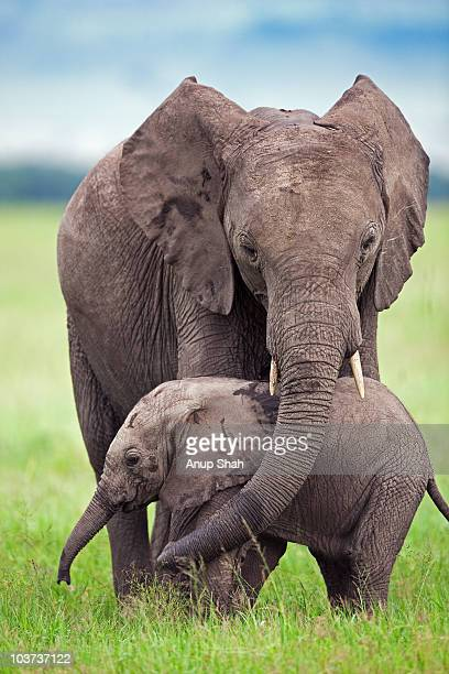 African elephant calf walking with a sub-adult