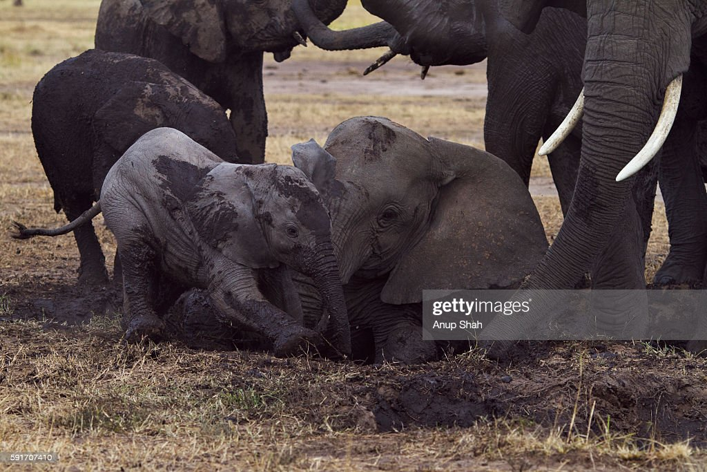 African elephant calf wallowing in mud at a dried up waterhole