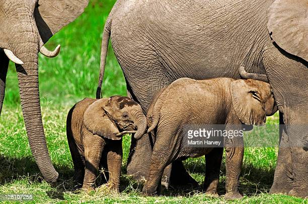 African Elephant calves, Loxodonta africana. One interacting with other that is nursing. Amboseli National Park Kenya. Dist. Sub-saharan Africa