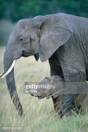 African elephant (Loxodonta africana) cow and calf : Stock Photo