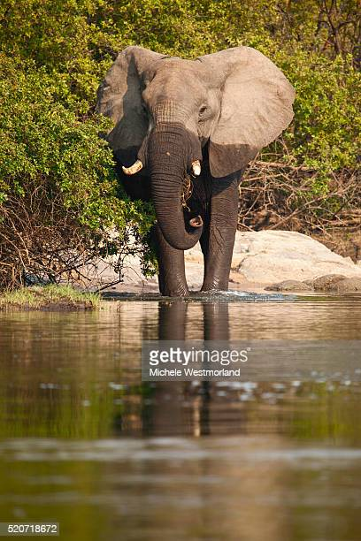 African Elephant Crossing River