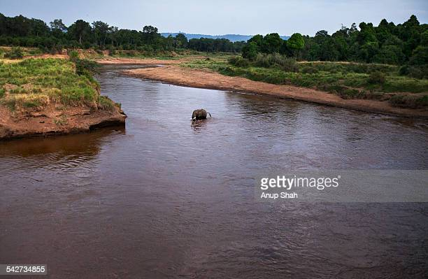 African elephant crossing the Mara River