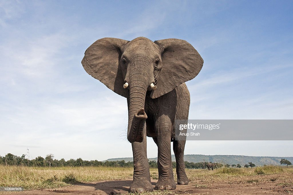 African elephant curious about strange smell  : Stock Photo