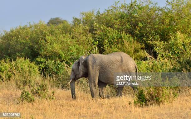African elephant  - Elephantidae Loxodonta Africana