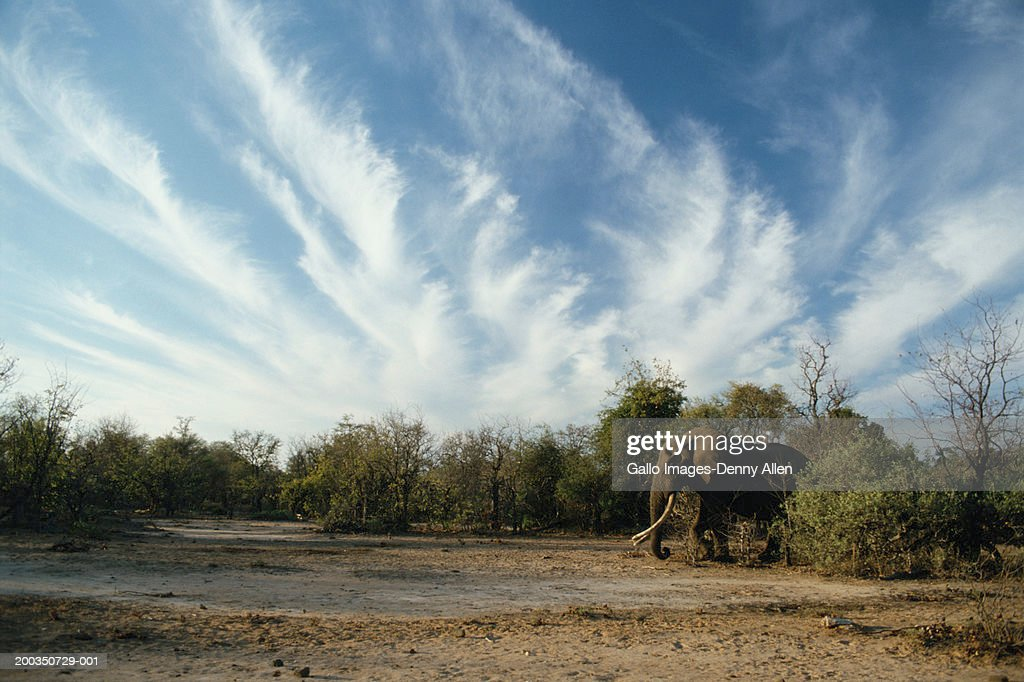 African elephant (Loxodonta africana) emerging from bush : Stock Photo