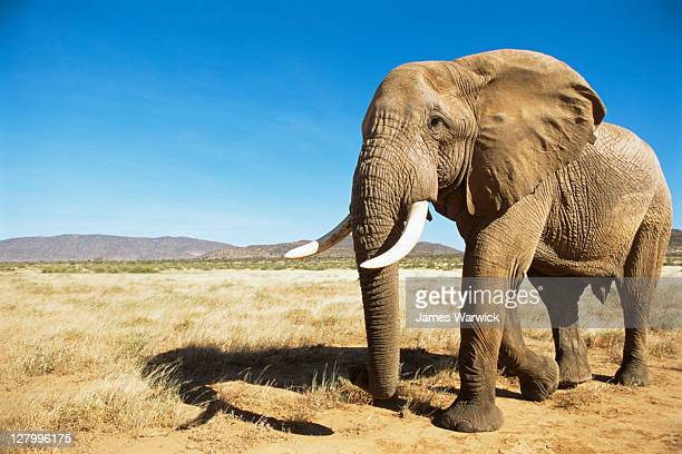 African elephant (male) encounter at dawn