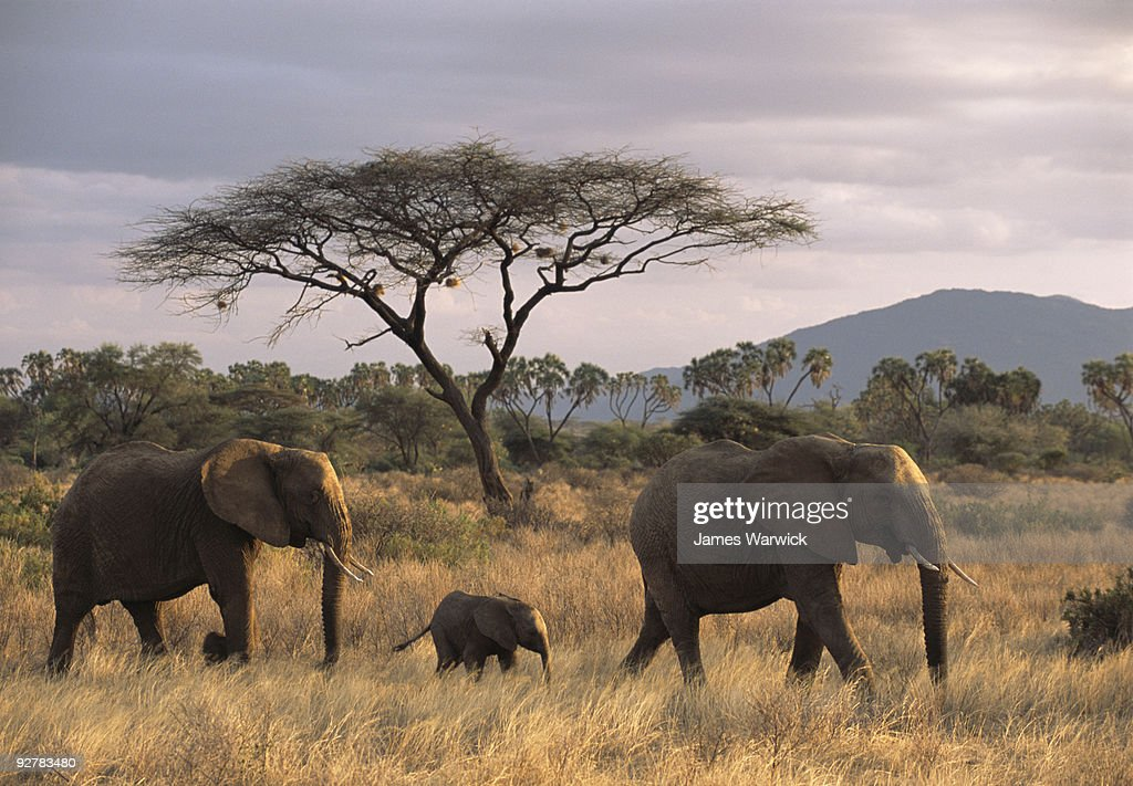 African elephant family on the move at dusk : Stock Photo