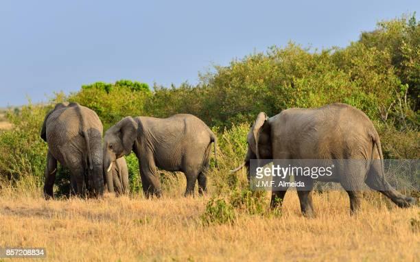 African elephant famliy  - Elephantidae Loxodonta Africana