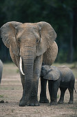 African elephant (Loxodonta africana) feeding elephant calf, Masai Mara, Kenya