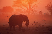 African elephant (Loxodonta africana) feeding, silhouette, sunset