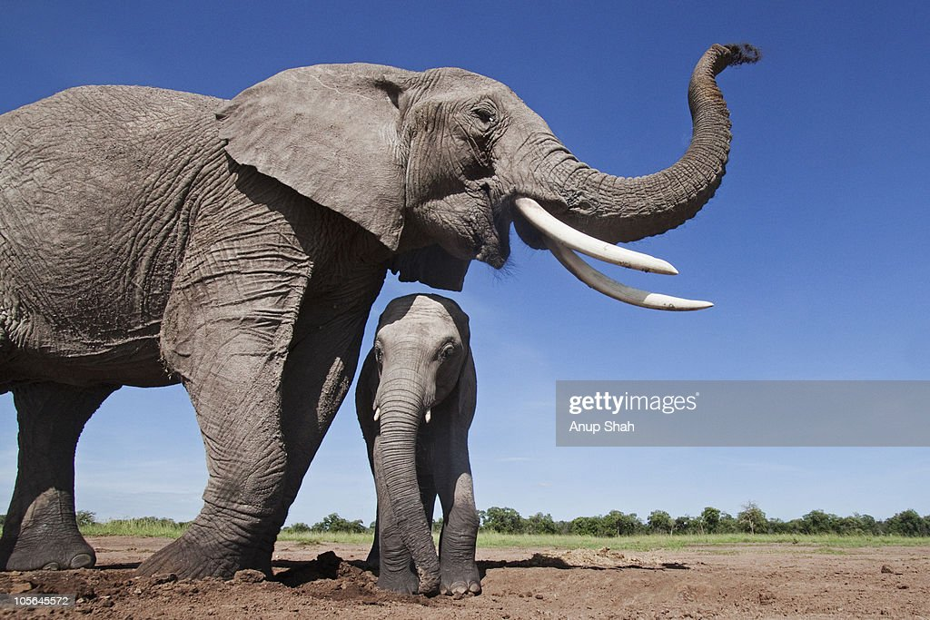 African elephant female and calf at a waterhole : Stock Photo