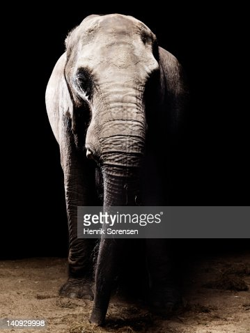 African elephant - front view : Stock Photo