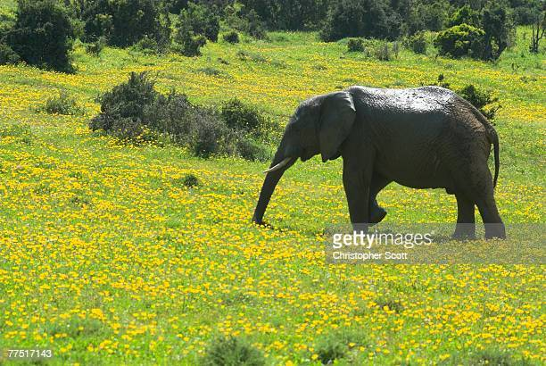 African Elephant (Loxodonta Africana) Grazing in a Field of Little Yellow Flowers. Addo Elephant Park, Eastern Cape Province, South Africa