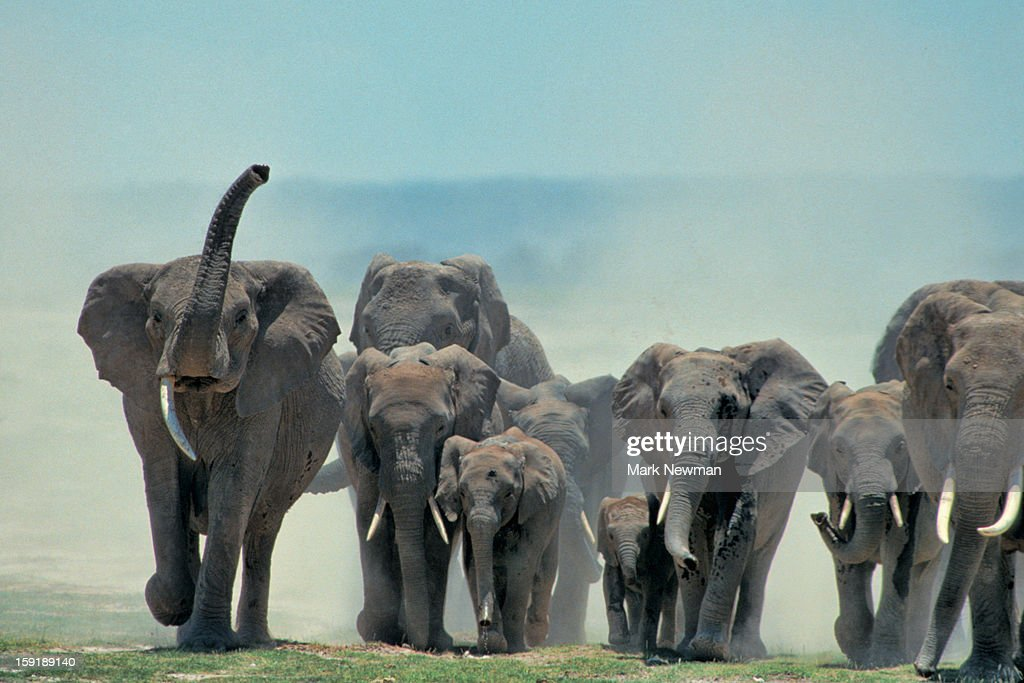African Elephant Herd approaching : Stock Photo