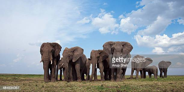 African elephant herd gathering on the savanna