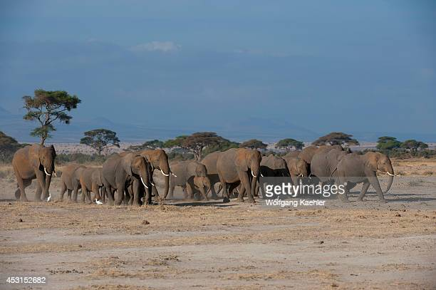 African elephant herd in Amboseli National Park in Kenya