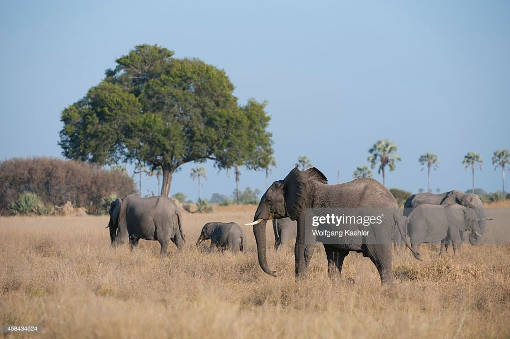 African elephant herd in the Chitabe area of the Okavango Delta in the northern part of Botswana