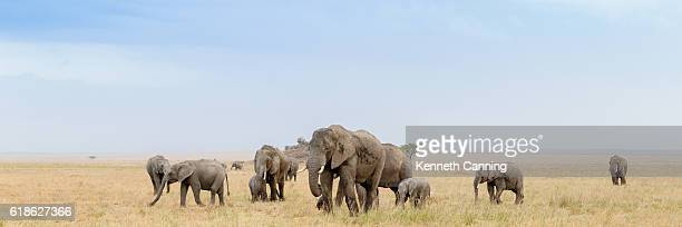 African Elephant Herd in the Serengeti Savanna, Tanzania Africa
