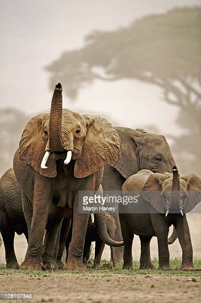 African Elephant herd, Loxodonta africana, with trunks raised to smell for danger. Amboseli National Park Kenya. Dist. Sub-saharan Africa