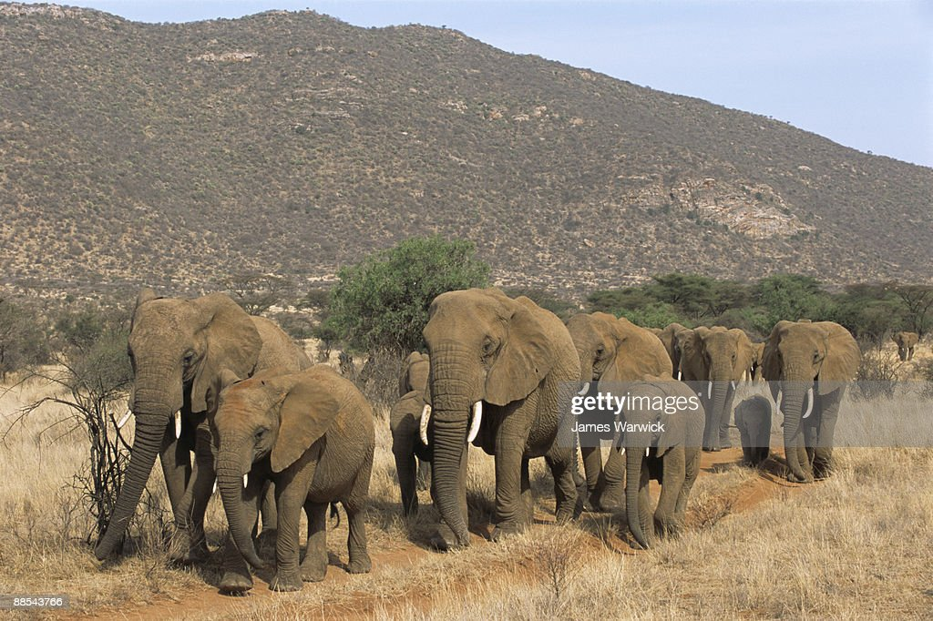 African elephant herd on the move : Stock Photo