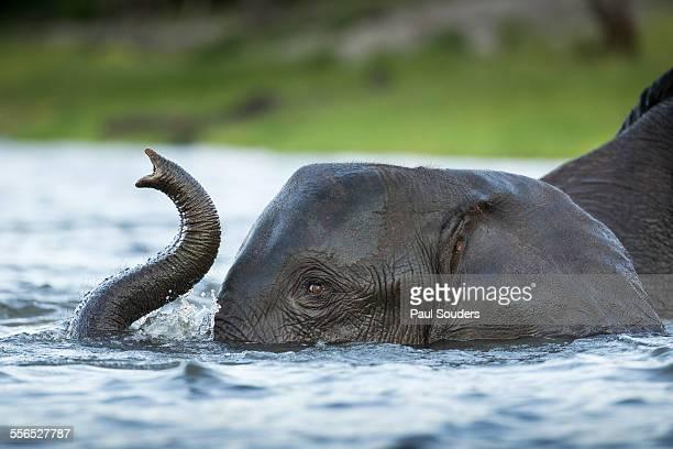 African Elephant in Chobe River, Botswana