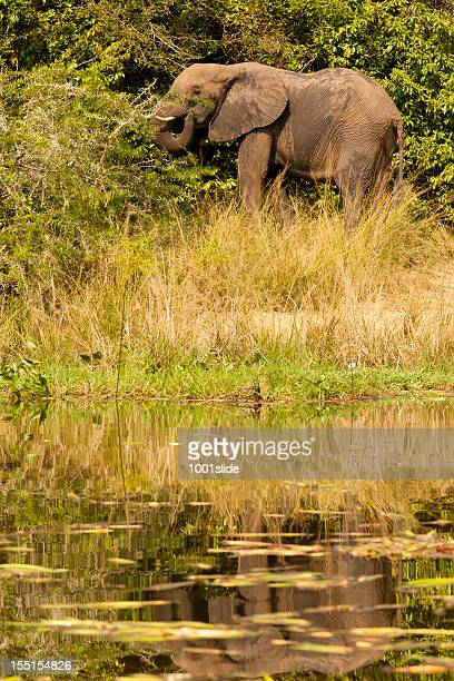 African Elephant in green-eating